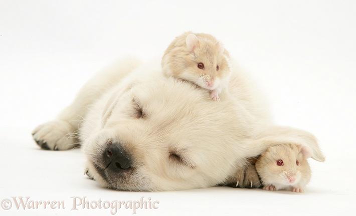 Www Cute Puppies Wallpaper Com Sleepy Retriever Cross Pup With Hamsters Photo Wp16884