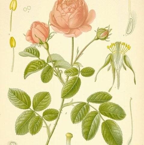 roses-18-l