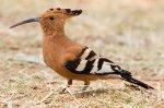 African Hoopoe Bird