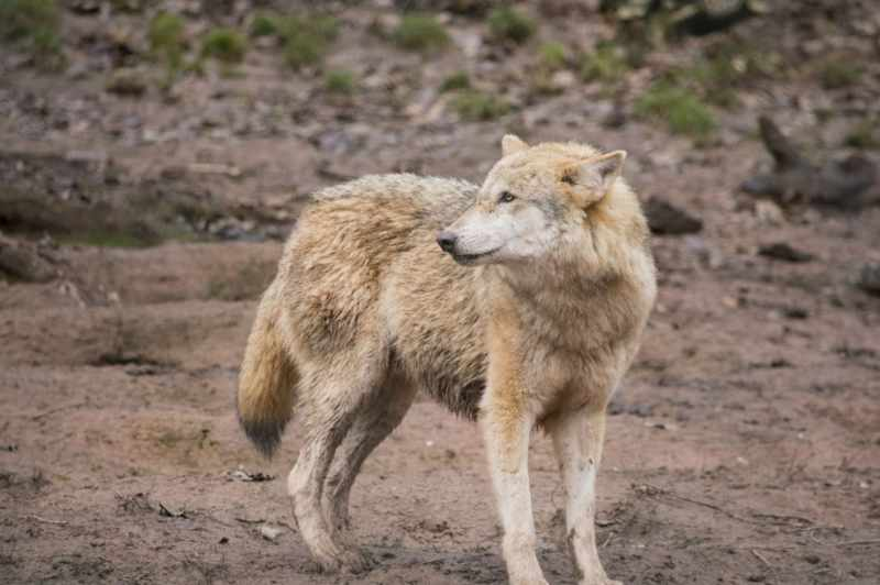 Large Of Dog Breeds That Look Like Wolves