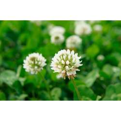 Small Crop Of How To Get Rid Of Clover