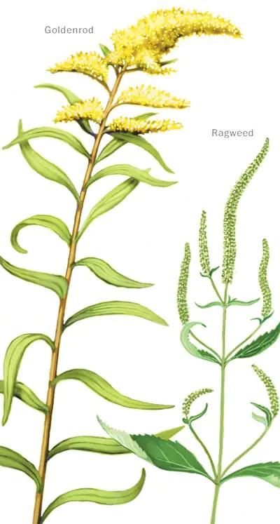 Goldenrod and Ragweed - The Washington Post