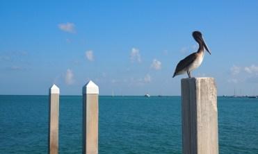 Key West Florida Keys pelikaan