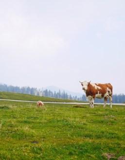 Koeien velika Planina