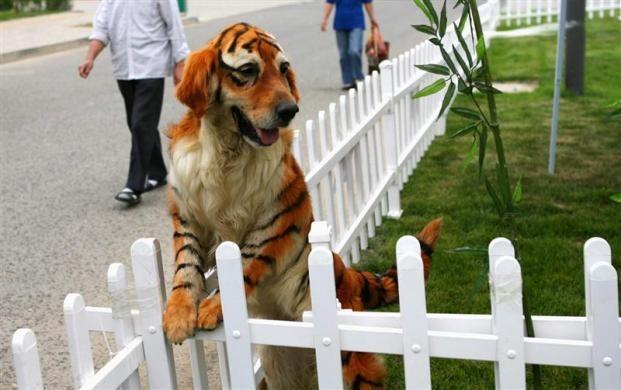 perros-labrador-tigre01