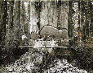 California lumberjacks work on Redwoods