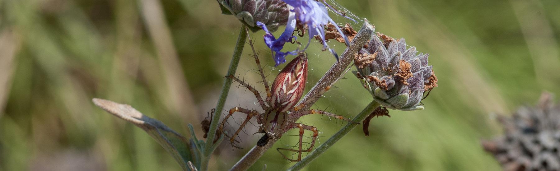 Salvia clevelandii hybrid; Lynx spider