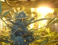 Best Grow Lights For Indoor Cannabis Growing 101 Best ...