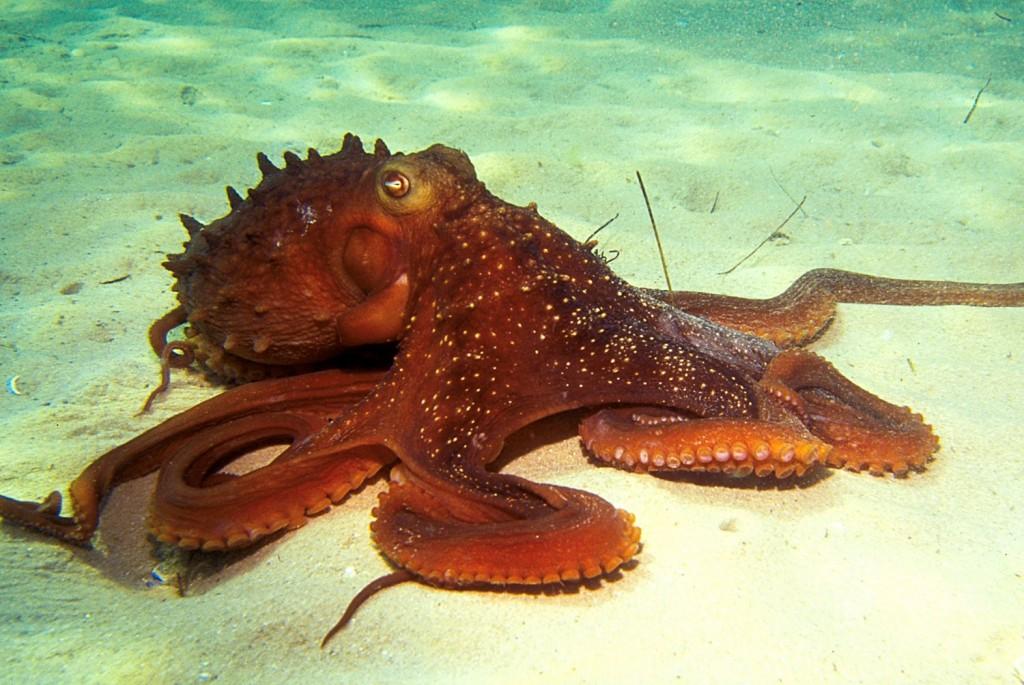 Octopus Iphone Wallpaper Octopus Vulgaris Habitat