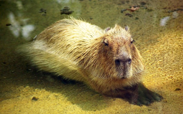 capybara_hattiesburg