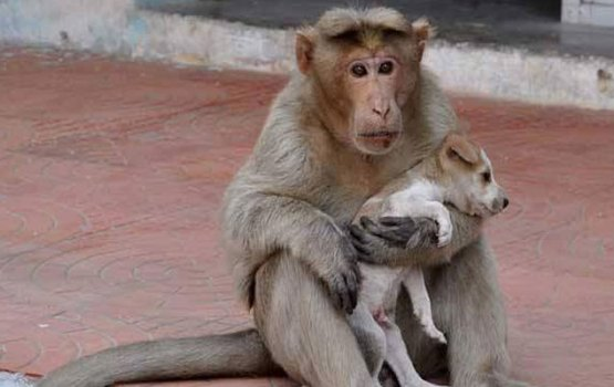 Monkey Adopts Stray Puppy In India