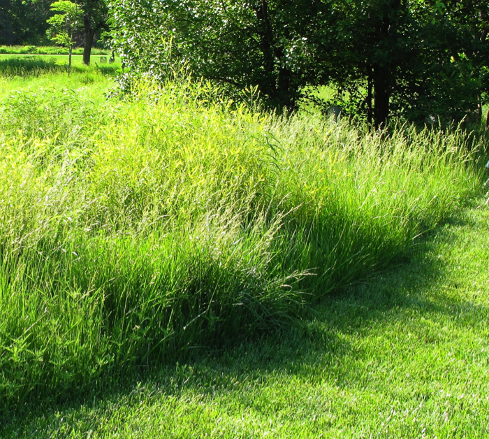 best native grasses for a yard