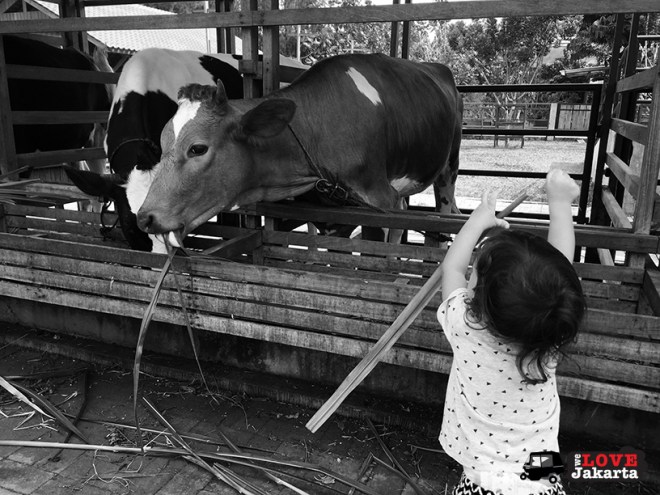 FullSizeRender 13 BLOG_feeding cows at Kuntum Nurseries