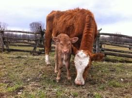 Anna our newest heifer.