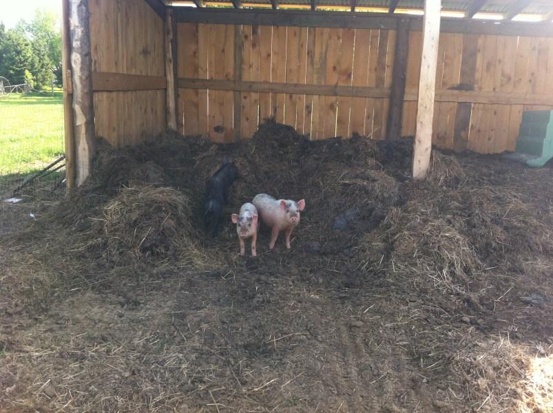 Our wiener pigs.