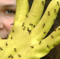 Verbraucher: Ameisen nicht mit Backpulver bekmpfen - WELT