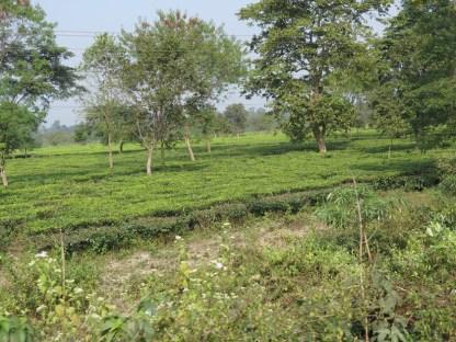Teeplantagen im Flachland