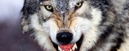 wolf-growl