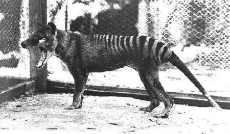 thylacine4