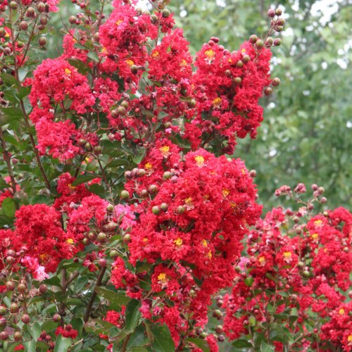 Medium Of Red Rocket Crape Myrtle