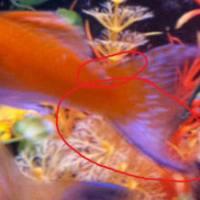 pregnant molly fish signs images - Black Molly Fish Pregnant Signs