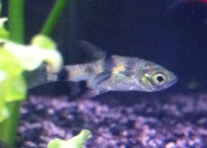 of the female platy's was swimming sideways toward the only male platy