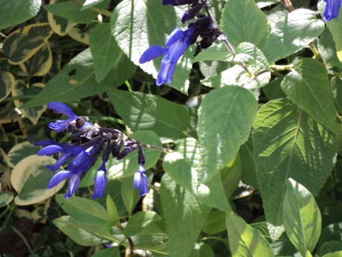 Medium Of Black And Blue Salvia