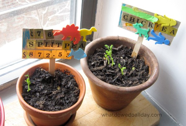 Indoor plant science with a bean garden race for kids
