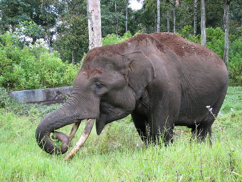 do Elephants Eat Meat Lion Eating Elephant