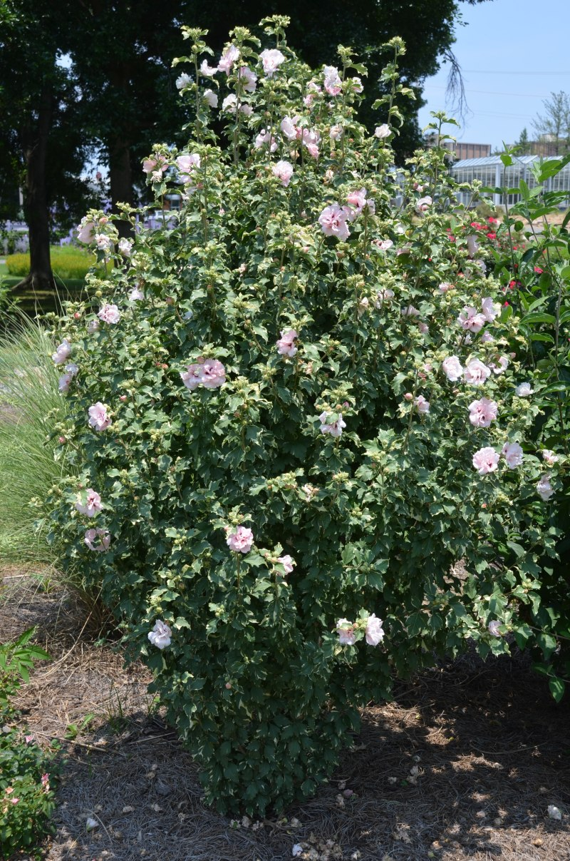 Large Of Rose Of Sharon Hedge