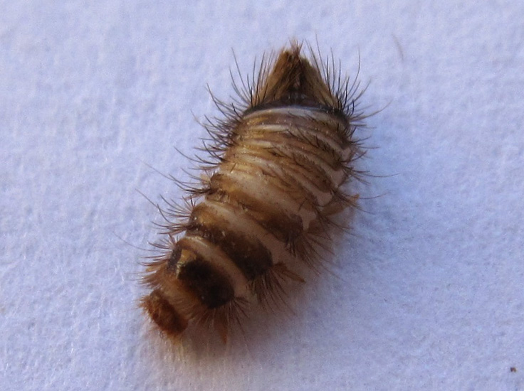 The Carpet Beetle Is Not The Bed Bug You Think It Is
