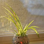 Whats Ur Home Story: Growing spider plants in water