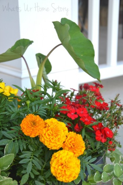 Whats Ur Home Story: Dianthus, elephant ear, container gardening, marigolds in a planter,Summer Garden