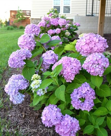 Whats Ur Home Story: hydrangea bushes, sun loving plants