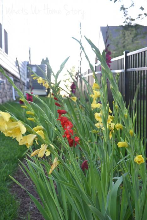 Whats Ur Home Story: gladioli, cottage harden, grow gladiolus
