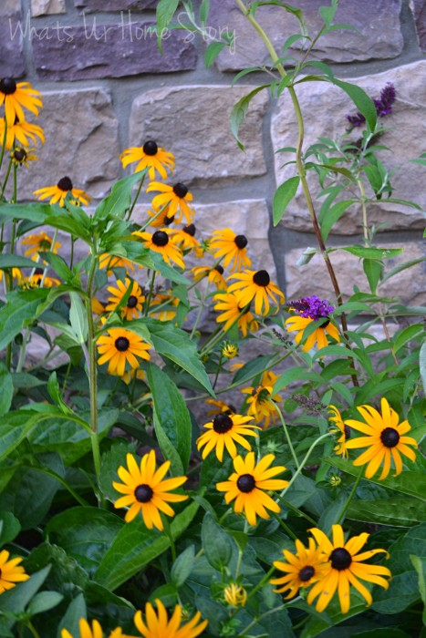Whats Ur Home Story: Black eyed susan