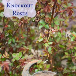 how to prune knockout rose