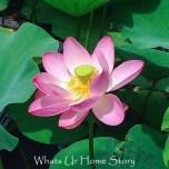 lotus flower; How to grow lotus