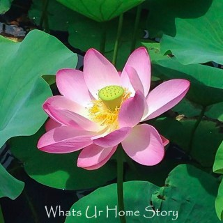 Lotus Potus