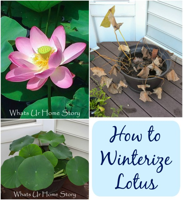 winterize lotus; Lotus flowers and plants care