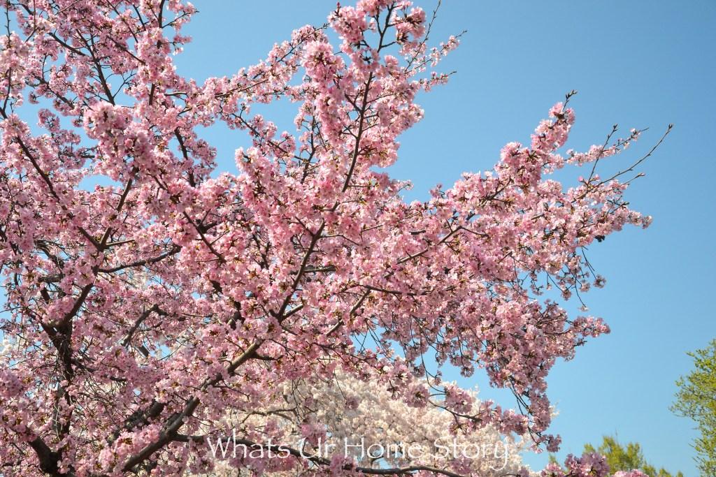 Cherry Blossom Festival 2016 - Kwanzan cherry
