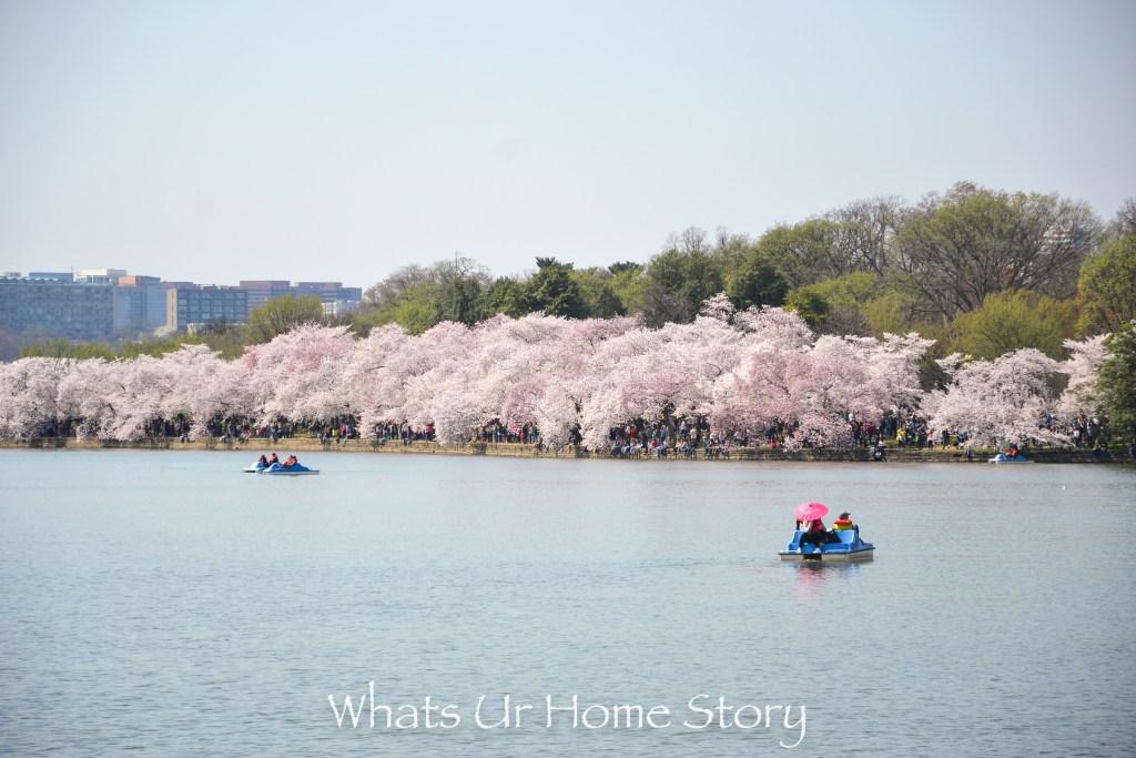 DC Cherry blossoms-Cherry Blossom Festival 2016