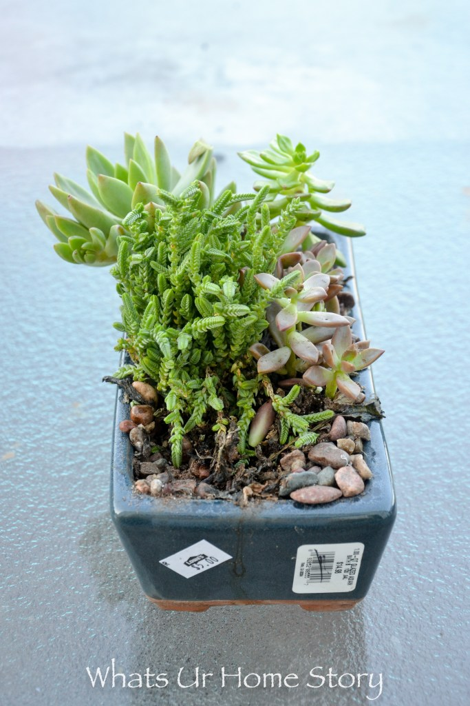 Tips on how to get succulents for cheap -succulents in the clearance section are cheap and usually can be nursed back to health