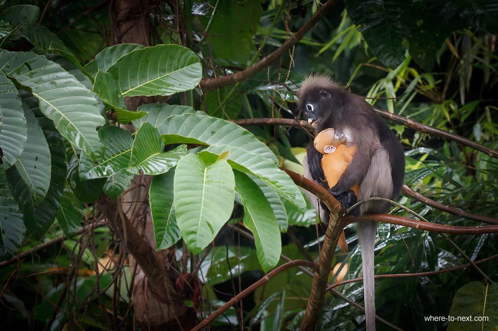 Spectacled-Langur-Khao Sok National Park