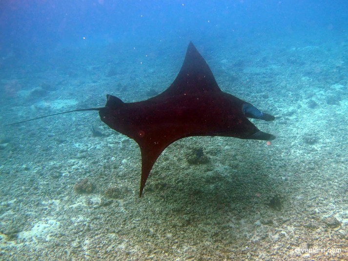 Manta ray, Barefoot Manta Resort, Yasawa Islands, Fiji