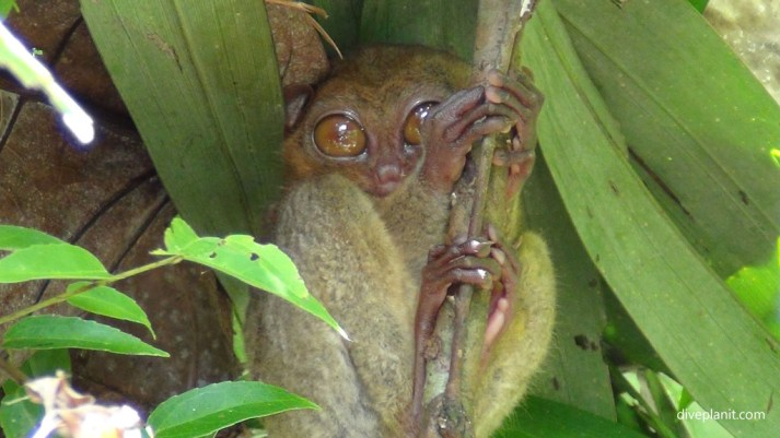tarsier sanctuary and conservation area