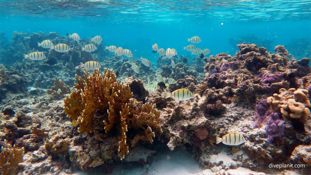 4350-Snorkel-scene-with-convict-surgeons-at-Muri-Lagoon-Rarotonga-Cook-Islands-DPI-4350