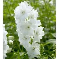 Delphinium Guardian White | White Flower Farm