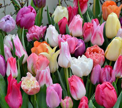 Fall Border Wallpaper For Desktop Buy Top Quality Dutch Tulip Bulbs At White Flower Farm