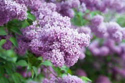 Small Of Dwarf Korean Lilac